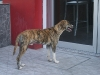 Карибско куче