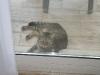 Карибска котка